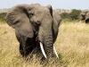 tn_elefanti